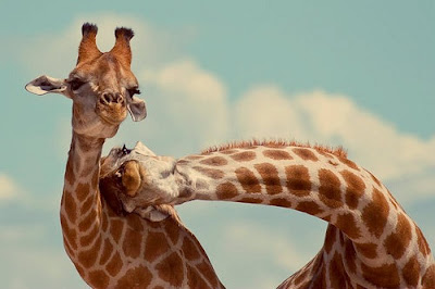 happy giraffes