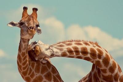 happy giraffes