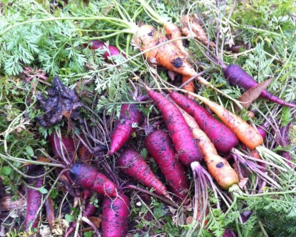 carrots from Raleigh community garden