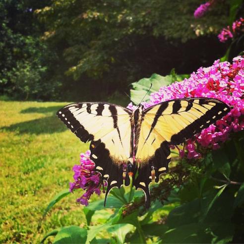 Photo of an Eastern Tiger Swallowtail by Kim Loftis
