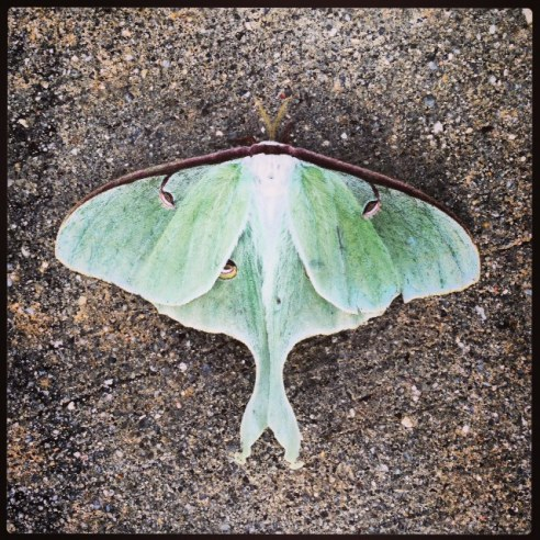Photo of a Luna Moth in Raleigh, NC by Crystal Sullivan